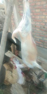 甘肃省白银市靖远县绵羊肉 生肉