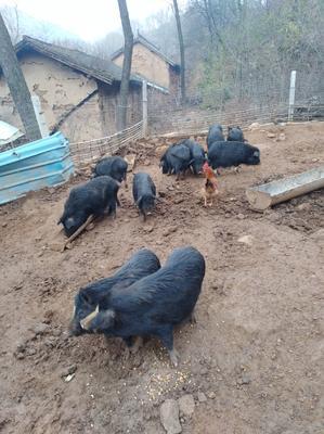 山西省运城市闻喜县藏香猪 80斤以上