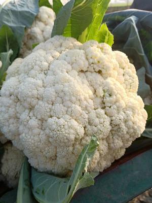 这是一张关于有机花菜 适中 4~5斤 乳白色的产品图片