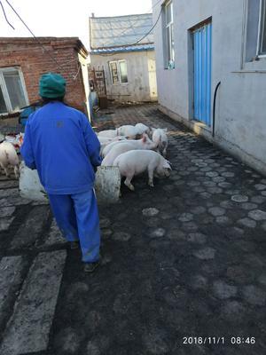 吉林省四平市公主岭市三元猪 20-25斤
