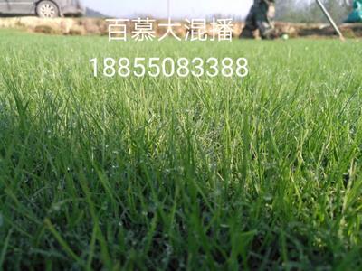 安徽省滁州市琅琊区黑麦草