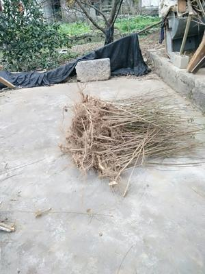 这是一张关于沙子空心李苗的产品图片