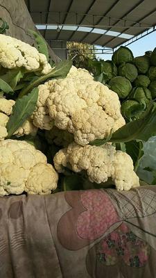 山东省滨州市阳信县铁杆青香菜 30~35cm