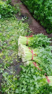 山东省潍坊市安丘市法国皇后芹菜 60cm以上 大棚种植 0.5斤以下