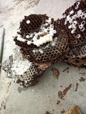 这是一张关于马蜂蛹的产品图片