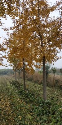 陕西省西安市周至县银杏实生苗