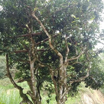 云南省普洱市江城哈尼族彝族自治县大叶古树普洱茶 盒装 三级