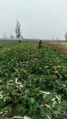 河北省衡水市饶阳县北京新三号白菜 10~15斤 净菜