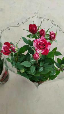 云南省昆明市呈贡区多头玫瑰