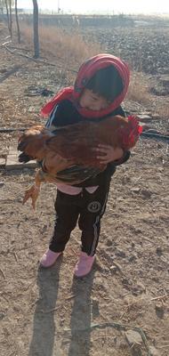 这是一张关于土鸡 公 6-7斤的产品图片