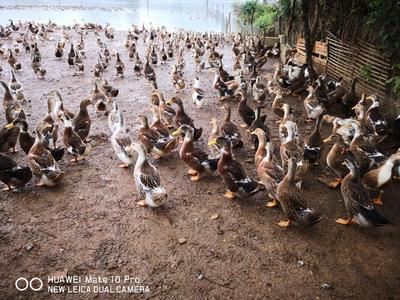 这是一张关于杂交鸭 公 全散养 5-6斤 的产品图片