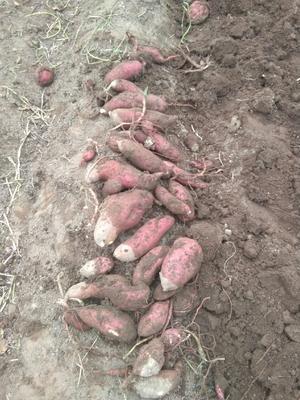 这是一张关于红皮蜜薯 红皮 6两~1斤的产品图片