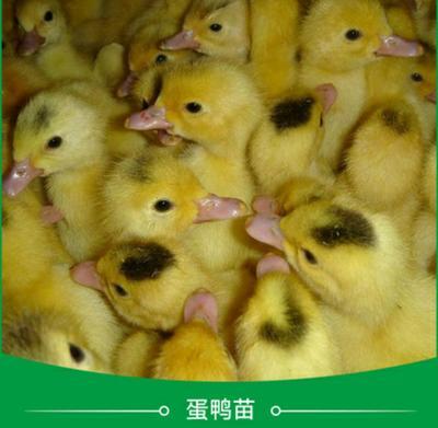 这是一张关于江南一号蛋鸭苗的产品图片