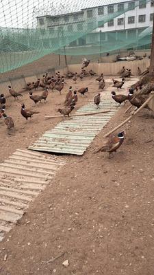 这是一张关于七彩山鸡 2-3斤的产品图片