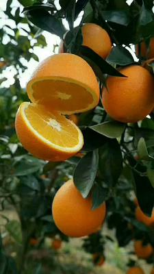 这是一张关于赣南脐橙 70-75mm 4两以下 的产品图片