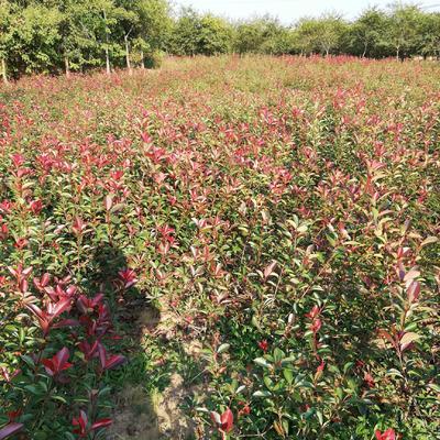 安徽省滁州市琅琊区红叶石楠