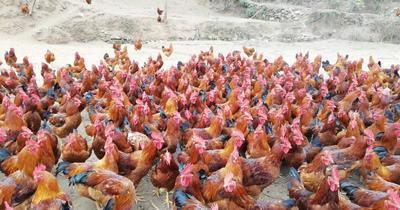 这是一张关于白条鸡 新鲜的产品图片