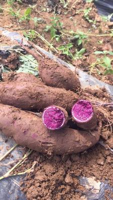 云南省文山壮族苗族自治州文山市日本紫薯王 3两以下
