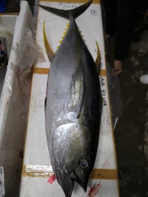 这是一张关于金枪鱼的产品图片