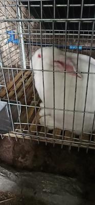 这是一张关于伊拉兔 3-5斤的产品图片