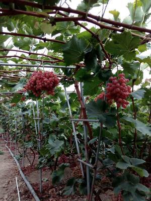 四川省凉山彝族自治州西昌市克伦生葡萄 10%以下 1次果 1.5- 2斤