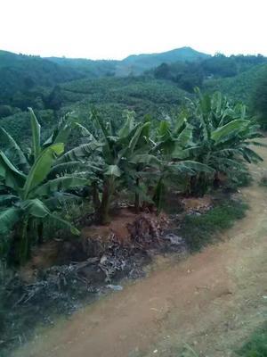 云南省文山壮族苗族自治州麻栗坡县天宝蕉 八成熟