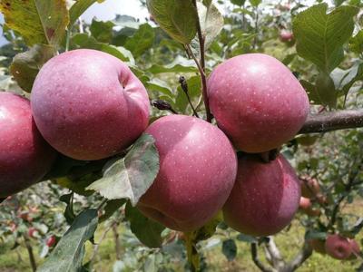 这是一张关于冰糖心苹果 光果 统货 75mm以下的产品图片