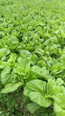 这是一张关于青菜头的产品图片