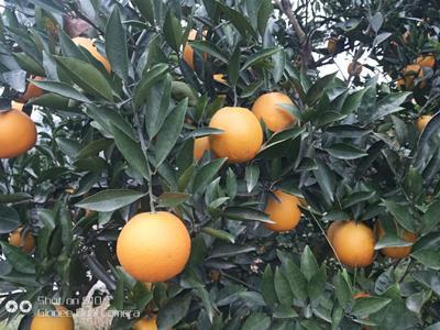 这是一张关于赣南脐橙 70-75mm 4两以下的产品图片