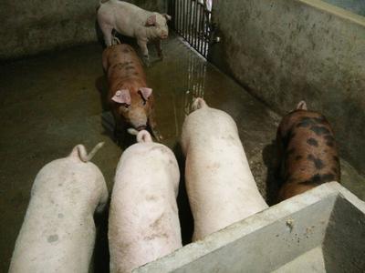 四川省南充市蓬安县三元猪 20-25斤