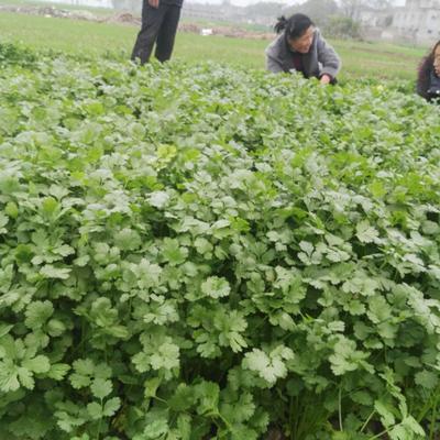 河南省周口市郸城县大叶香菜 35cm以上