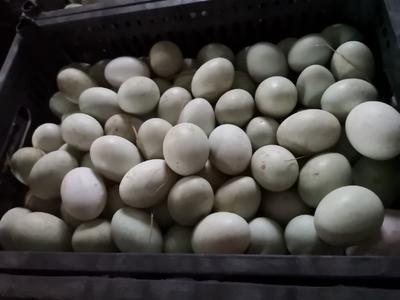 河南省开封市祥符区青皮鸭蛋 食用 散装