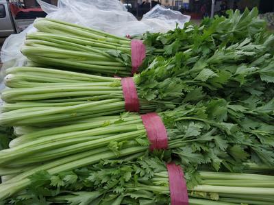 山东省聊城市东昌府区法国皇后芹菜 60cm以上 大棚种植 0.5~1.0斤