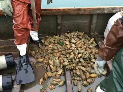 这是一张关于野生海参的产品图片