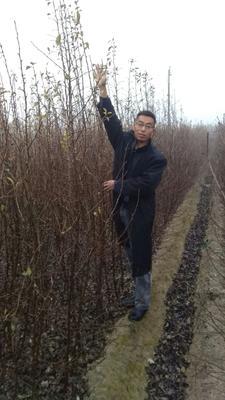 这是一张关于丑梨苗 1~1.5米的产品图片
