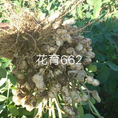 辽宁省阜新市蒙古族自治县花生种子 ≥97% 原种