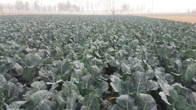 河南省濮阳市清丰县耐寒优秀西兰花 1.2~1.5斤 10~15cm