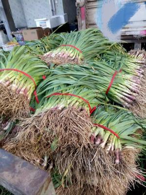 湖北省荆州市荆州区红根蒜苗 50 - 60cm