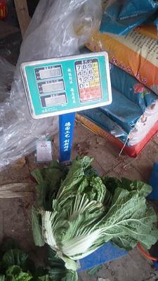 河北省沧州市泊头市早熟五号大白菜 3~6斤 净菜