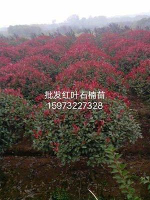 湖南省湘潭市湘乡市高杆红叶石楠