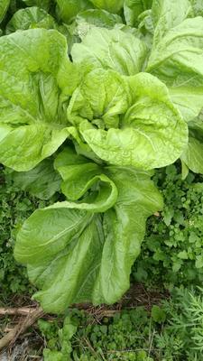 这是一张关于青菜泡菜的产品图片