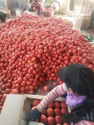 山东省聊城市东昌府区硬粉番茄 不打冷 硬粉 通货