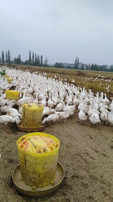 江西省宜春市高安市白鹅 统货 半圈养半散养 6-8斤
