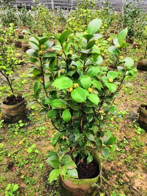 广西壮族自治区柳州市融安县茶花树 50~80cm
