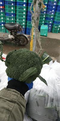 北京丰台区耐寒优秀西兰花 0.8~1.2斤 10~15cm