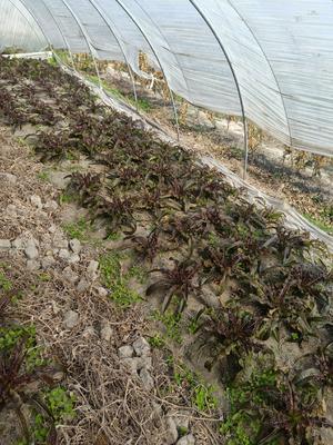 江苏省盐城市东台市红叶香莴苣 16~20cm 0.5~0.8斤