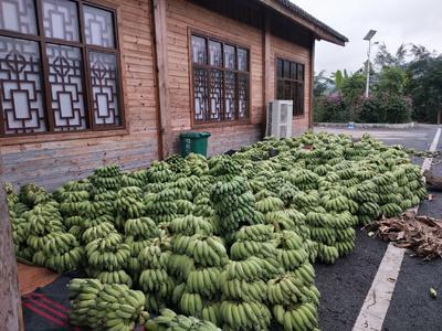 贵州省黔西南布依族苗族自治州册亨县西贡蕉 七成熟