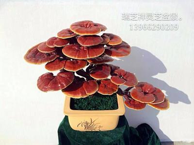 安徽省安庆市岳西县造型灵芝