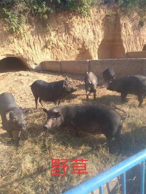 陕西省咸阳市乾县黑土猪 200-300斤