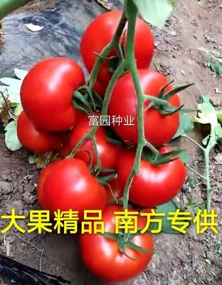 山东省潍坊市寿光市红果番茄种子 ≥90% ≥98% 杂交种